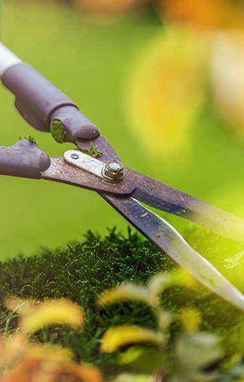 Shrubs Trimming Using Large Professional Garden Scissors